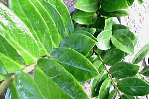 zanzibar gem plant leaves