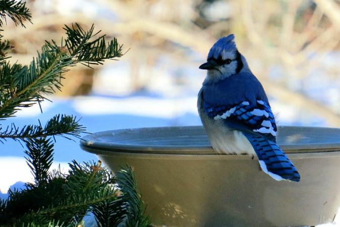 Blue Jay sitting in winter bird bath
