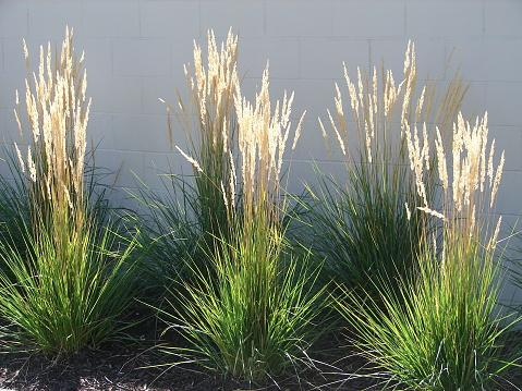 Feather Reed Grass, Calamagrostis acutiflora 'Karl Foerster'