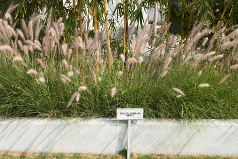 Fountain Grass, Pennisetum