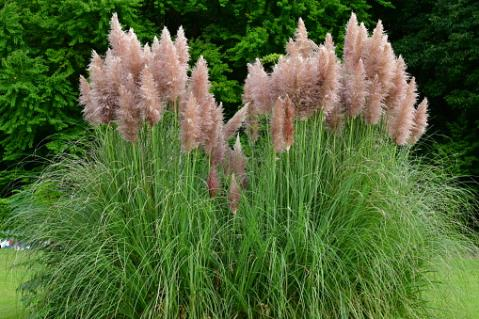Pampas Grass, Cortaderia selloana