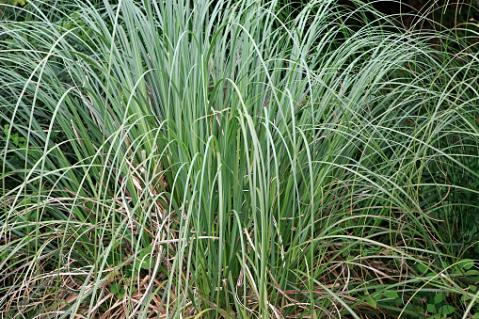 Sedge, Carex