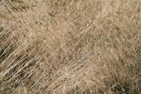 Tufted Hair Grass, Deschampsia