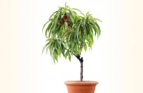 miniature nectarine tree