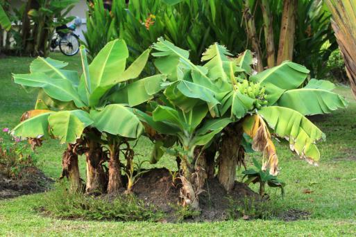 Miniature banana tree