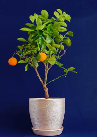 Miniature tangerine tree