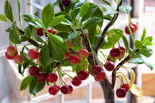 miniature cherry tree