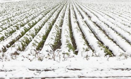 snow-covered furrows of carrots