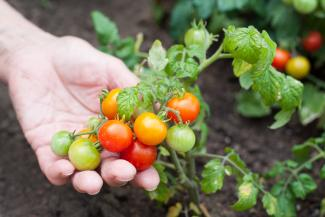 Close-Up Of Hand Holding Tomatoes At Vegetable Garden