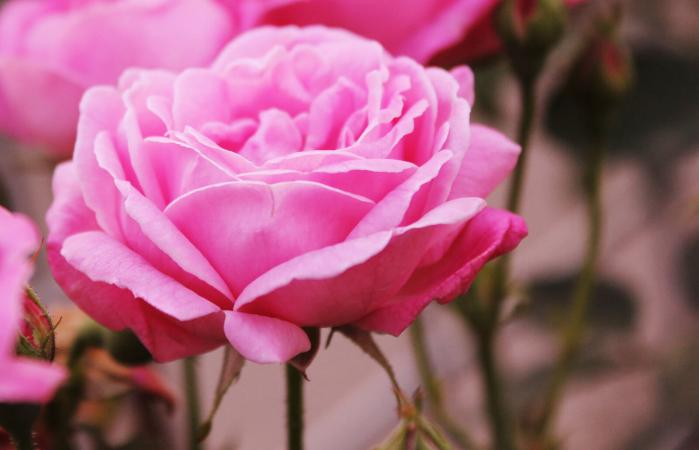 49946c0061e09 When Is the Best Time to Plant Roses? | LoveToKnow