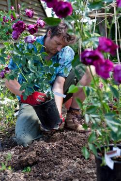 Gardener Planting Purple Rose Bushes