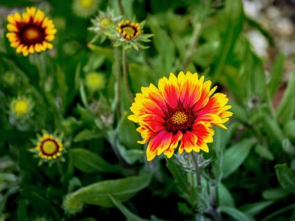 Close-Up Of Gaillardia Blooming Outdoors