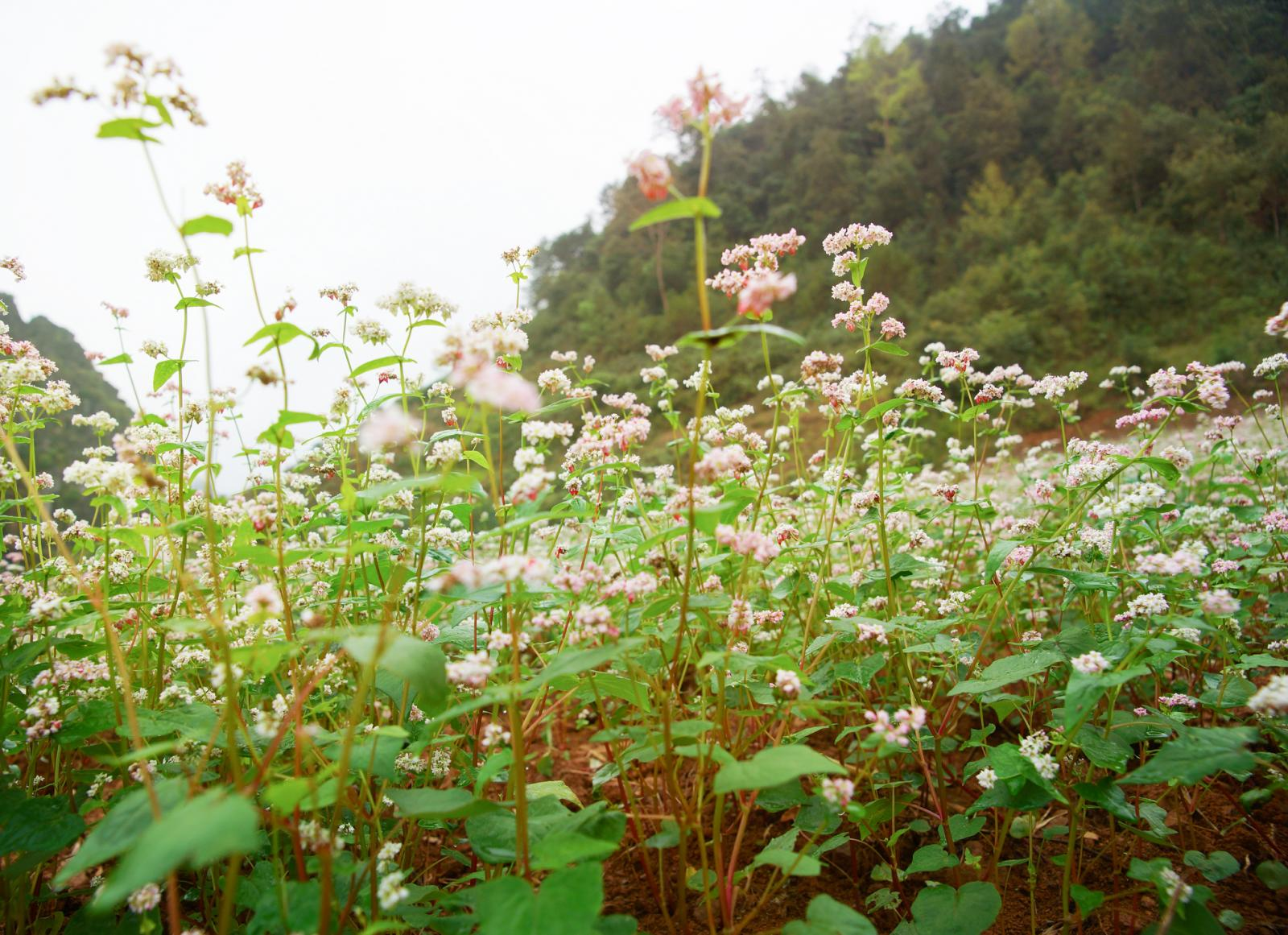 When To Plant Buckwheat Lovetoknow