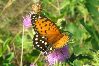Female Regal Fritillary