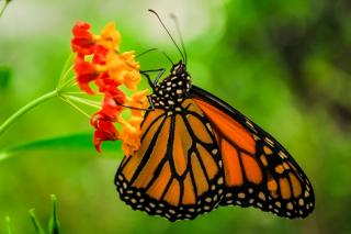 Monarch Butterfly in Mexico City
