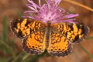 Crescentspot Butterfly