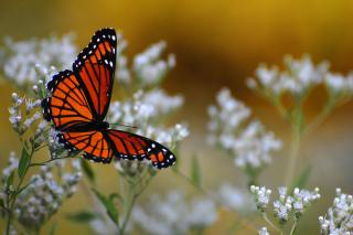 Closeup of Viceroy butterfly