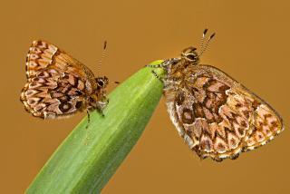Western Pine Elfin Butterfly