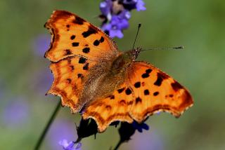 Foraging Eurasian Comma Butterfly
