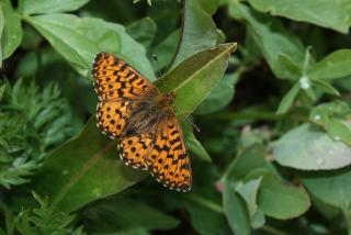 Arctic Fritillary Butterfly