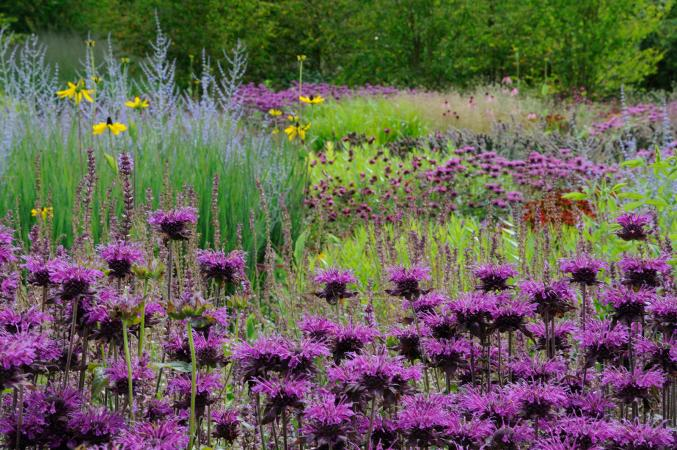 Field of purple bee balm
