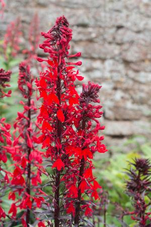 Red cardinal flower in garden