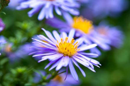 Purple New England aster flowers