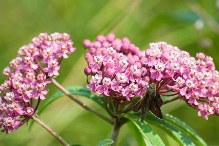 Dun skipper on swamp milkweed