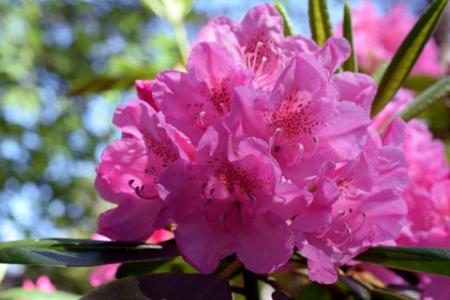 Pink swamp azalea blooms
