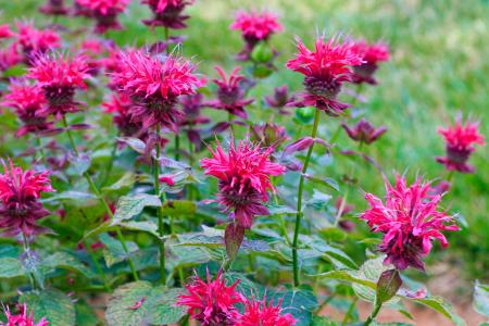 Pink bee balm in bloom