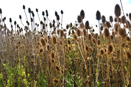 Dried teasel on field