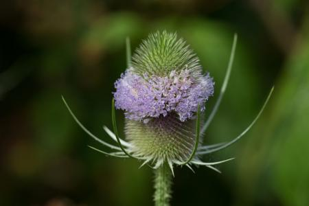 Teasel plant in bloom