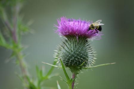 Pink thistle with bee