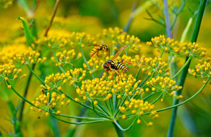 wasps pollinating fennel flower