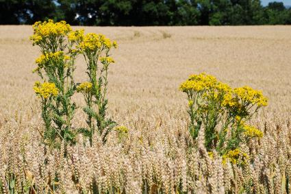 Tansy in a wheat field