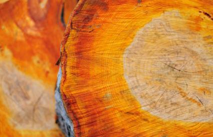 Alder trunk wood texture