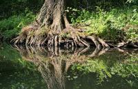 Alder tree roots