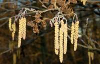 Alder tree cones and caskins