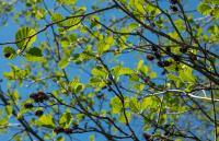 Black alder leaves in spring