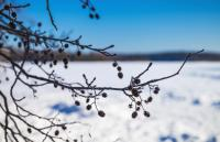Alder tree branches in winter