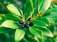 Leaves of laurel and berries on a tree