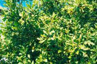 Laurel leaf in the wild