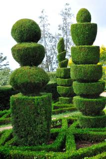 Box topiary trees