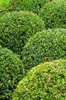 round topiary box trees