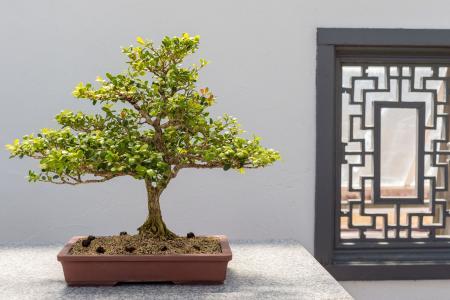Chinese Boxwood Bonsai (Buxus sinica)