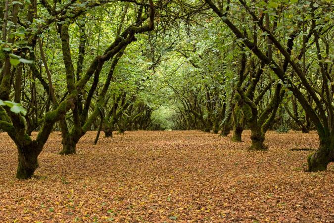 Trees in Filbert Orchard