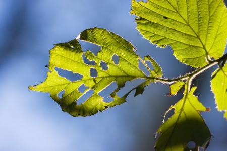 Diseased Hazel Leaf