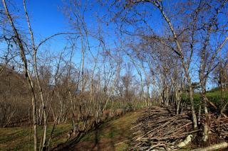 Hazel trees in winter