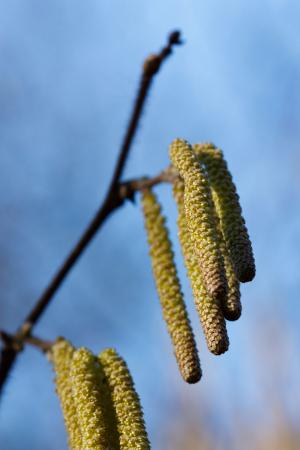 Common Hazel Catkins