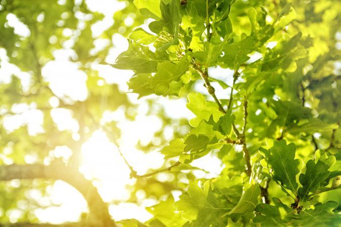 Sunlight filtering through oak leaves